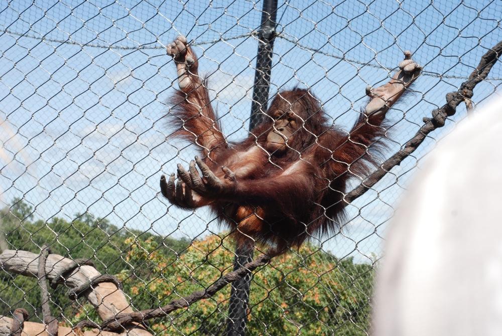 The funniest ape ever.